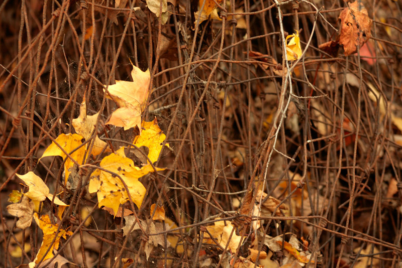 Barbed wire and Fall leaves.