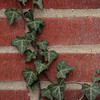 Ivy growing up our brick.
