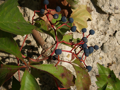 August berries - needs i.d. (seen near the Delaware Canal South of Riegelsville, PA)