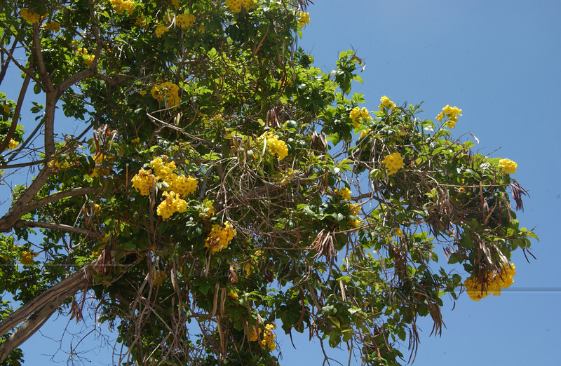 Flowering tree in San Diego Old Town  (needs I.D.-- If you know, please contact me through my Guestbook)