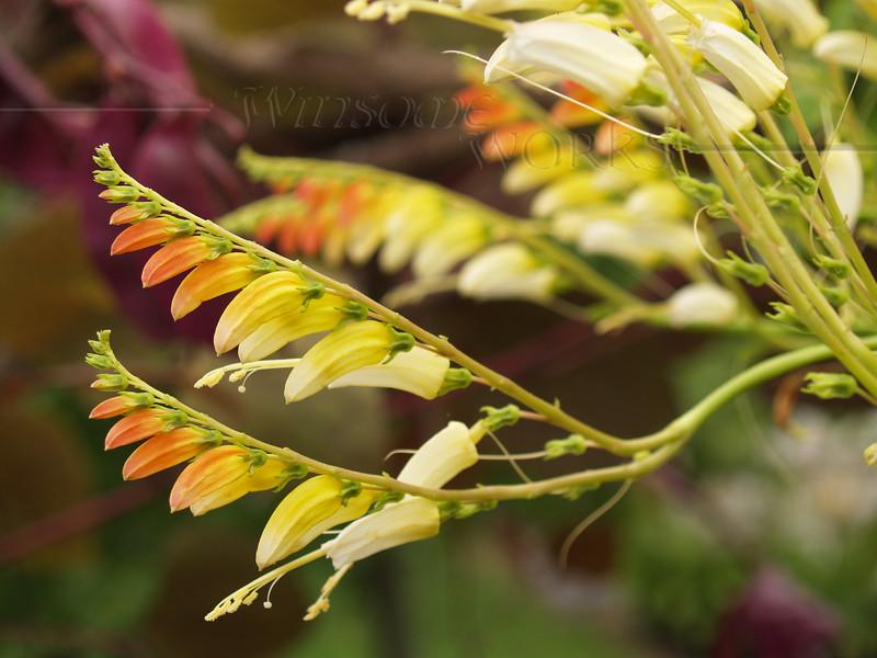 Plants at LInden Hill Gardens - needs i.d.