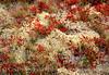 Deer Lichen and Blueberries 7x10 copy