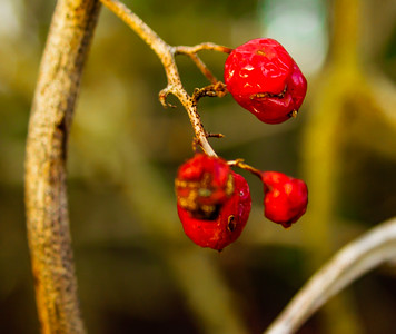 Dry Red Berries