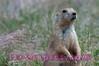 Prairie Dog in South Dakota