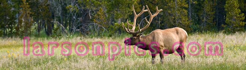 Bull Elk Grazing in Yellowstone National Park