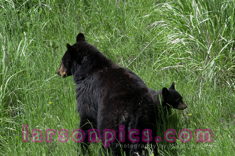 Black bear and Cub in Yellowstone