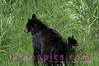 Black bear and Cub in Yellowstone