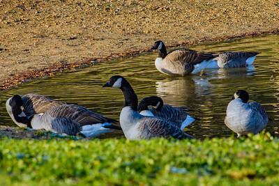 I Spy Geese