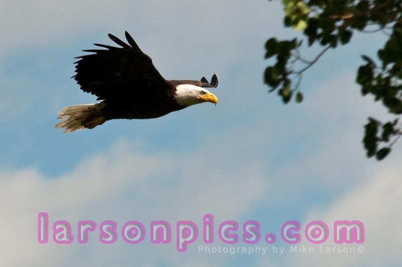 Bald Eagle shot in Lamar Valley