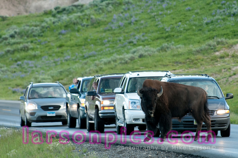 Bison/Buffalo Stops Traffic in Yellowstone National Park