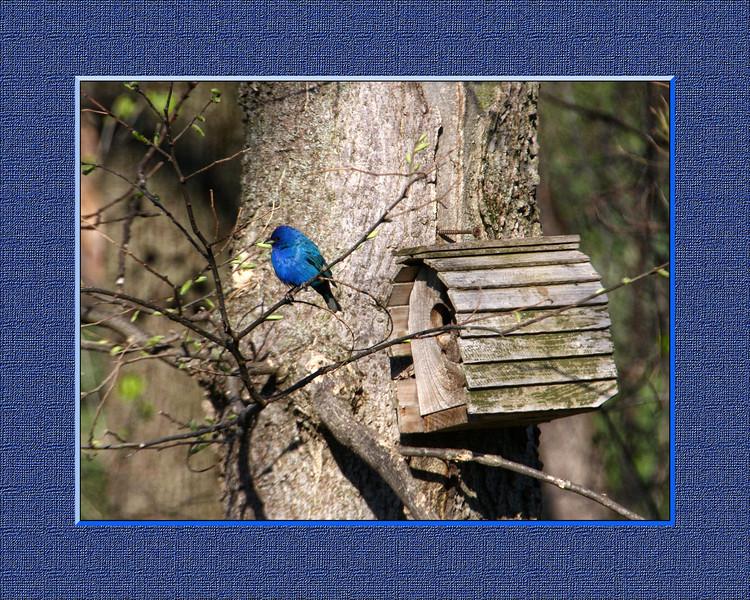 Bird - Blue 5-25-2013