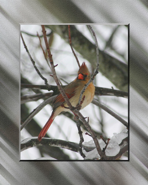 Female Red Bird