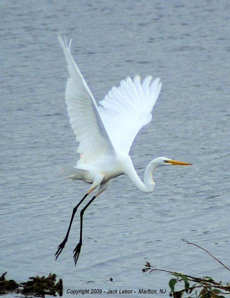 Giant Egret - Cape May, NJ  Nature Center 2009
