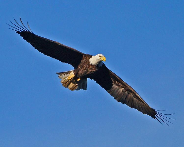 Soaring Eagle - Photo by Jack Labor 2012