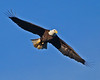Soaring Eagle - Photo by Jack Labor 2012