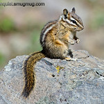 Chipmunk - catching some rays in Yellowstone national Park