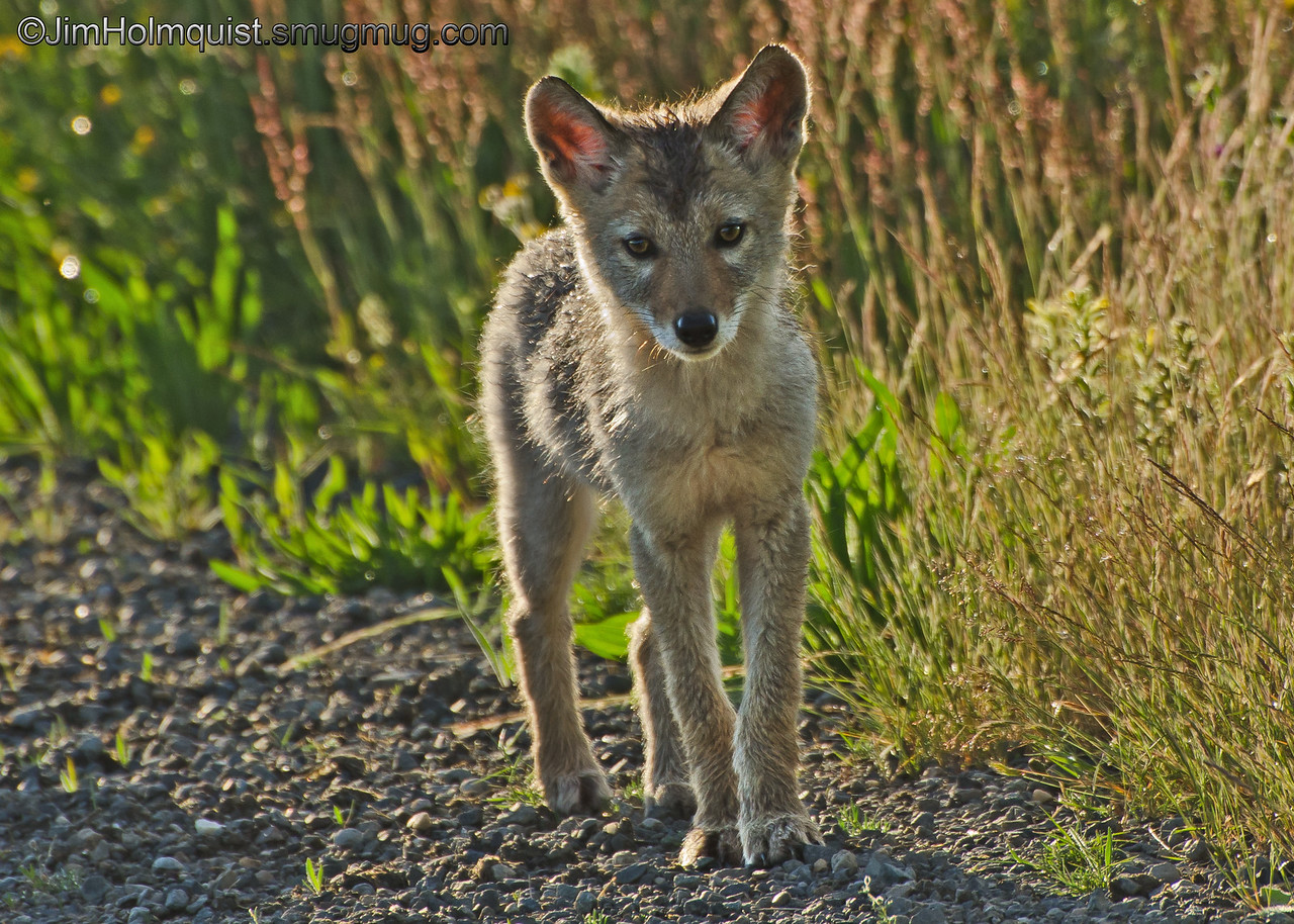 """c"" is for Coyote Pup <br /> <br /> Two coyotes pups were playing on a gravel road in the Nisqually Wildlife Refuge near Olympia, Wa. I stood still watched them for awhile as they slowly came closer."