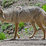 Coyote - We were hiking up a trail in Yellowstone National Park when we noticed a coyote coming down the trail towards us. We stood still as she walked right by us a few feet off the trail. Here she had stopped to look for a woodchuck she had spotted.