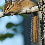 Chipmunk - sunbathing near Olympia, Wa
