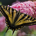Canadian Tiger Swallowtail - Near Olympia, Wa.