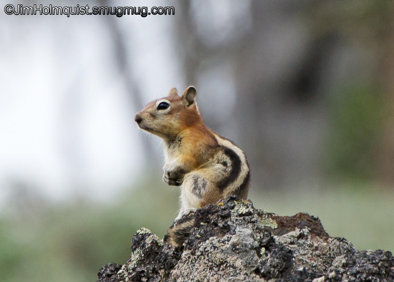 Golden-mantled Ground Squirrel - Yellowstone National Park