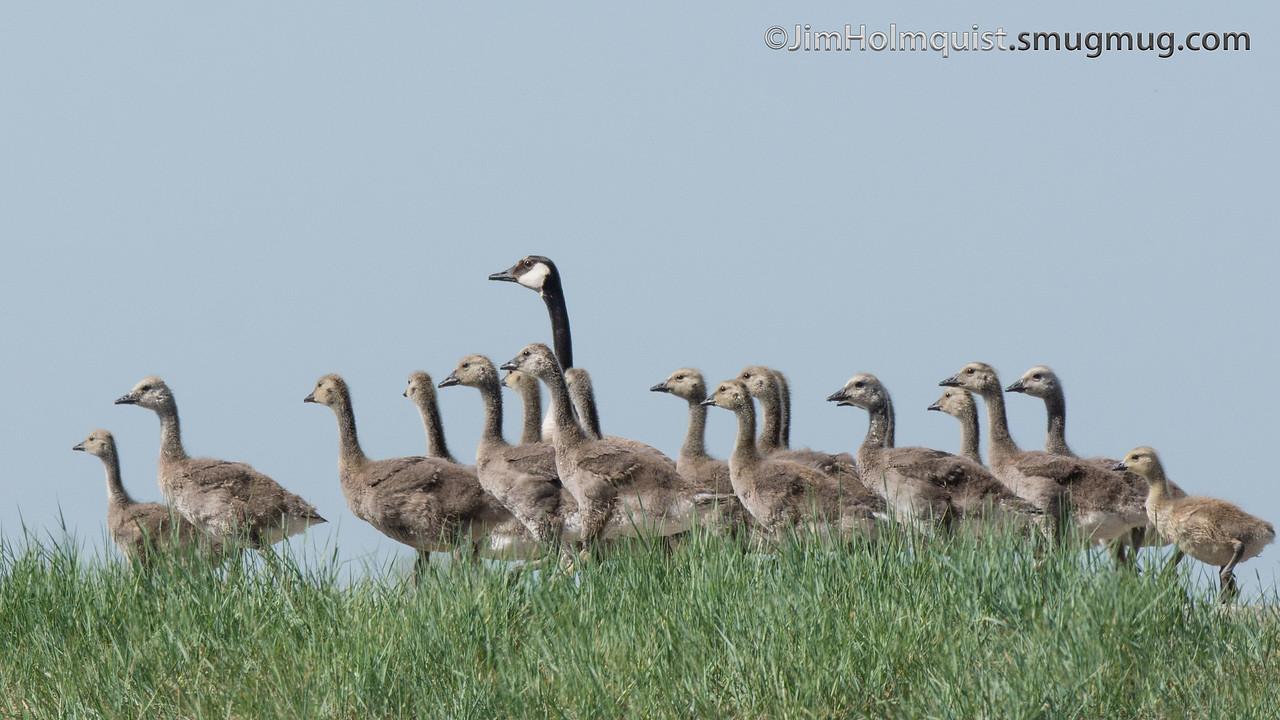 Canada Goose' official adobe