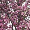 magnolia tree blossoms Spring 2015