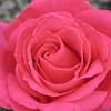 Rose at Azalea - taken by Wendy 2007