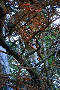 Lichen Trees Point Lobos, CA