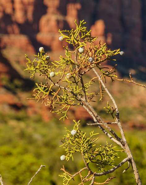 Red Rock Country, Juniper berries, Sedona, Arizona