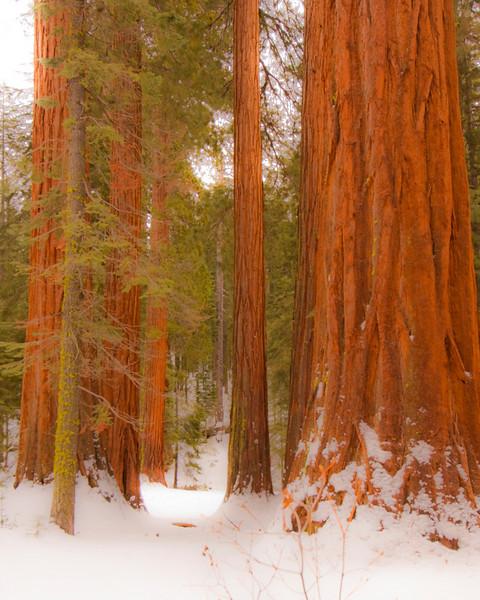 Redwoods, Mariposa Grove, Yosemite Park
