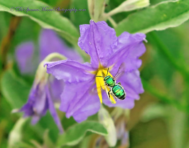 Metallic Green Bee flying into a Silverleaf Nightshade Flower