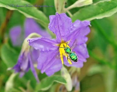 Metallic Green Bee flying into a Silverleaf Nightshade Flower