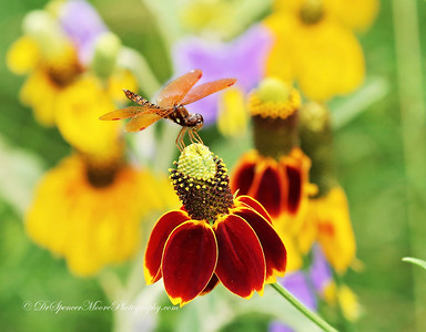 Amberwing Dragonfly.