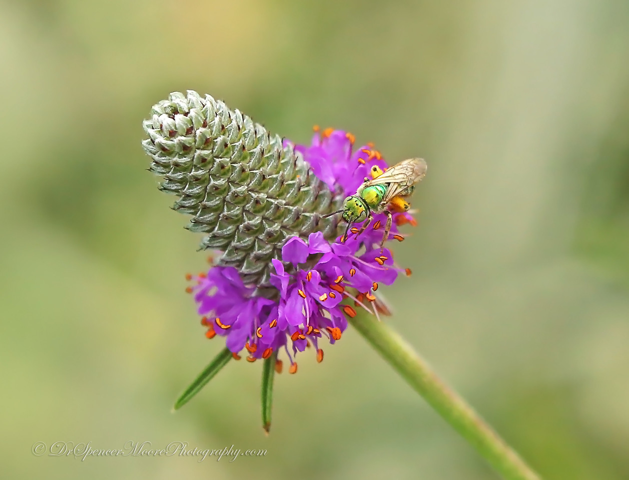 Metallic Green Bee on a Purple Prairie Clover