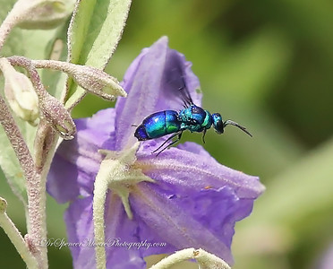 Blue Orchard Mason Bee flying around a Silverleaf Nightshade Flower.