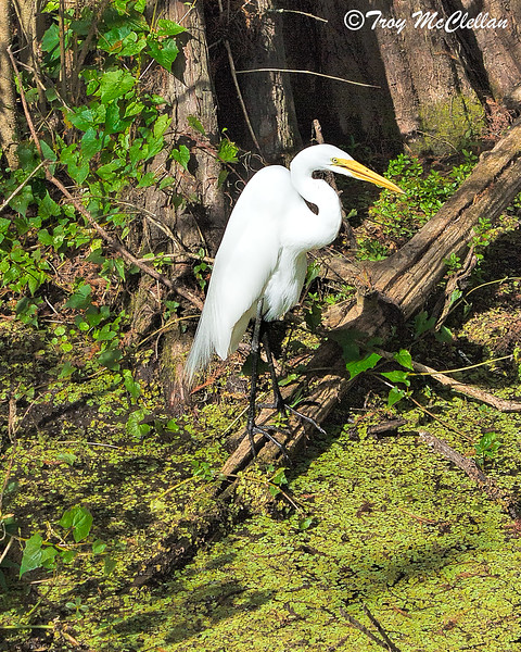 Great Egret Fishing in Marsh at Lettuce Lake Park