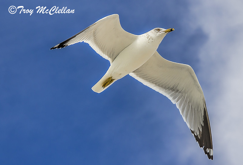 Seagull Flyover