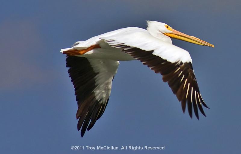White Pelican in flight at Apollo Beach.
