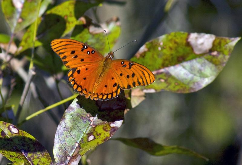 Butterfly at Lettuce Lake Park
