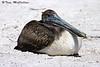 Crouching Pelican