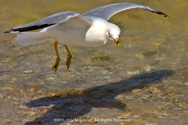 Sea Gull on final approach.