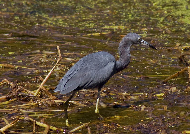 A Blue Heron hunts in the marsh at Lettuce Lake Park