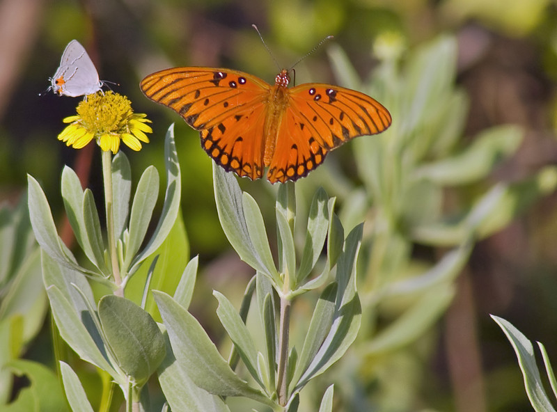 A Monarch Butterfly and a Moth rest on flowers.  Shot while waiting for the final launch of Space Shuttle Endeavour.