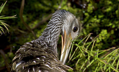 A young Heron cleans its feathers