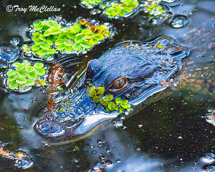 Alligator in Murky Water