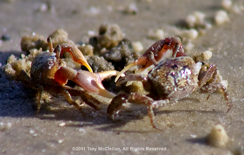 Two fiddler crabs fight!