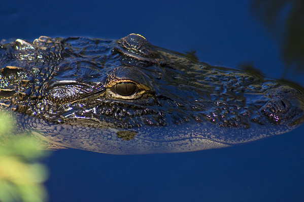 A Florida Alligator floats in the blue water of the Hillsborough River.
