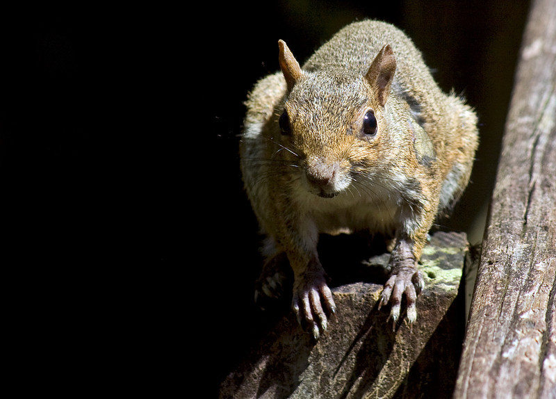 Squirrel at Lettuce Lake Park