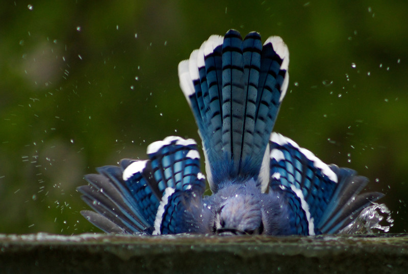 This Bule Jay dived head first into the little bird bath near Freedom Square in DC.